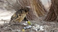 Western Bowerbird (Image ID 44252)