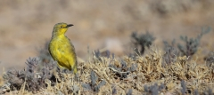 Gibberbird (Image ID 44251)