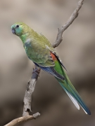 Red-rumped Parrot (Image ID 44159)