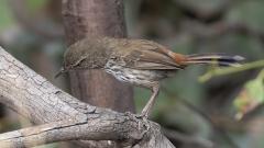 Chestnut-rumped Heathwren (Image ID 44161)