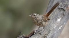 Chestnut-rumped Heathwren (Image ID 44160)