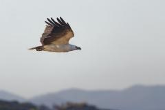 White-bellied Sea-Eagle (Image ID 44221)