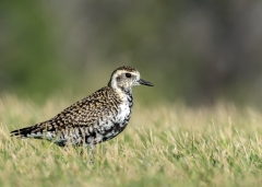 Pacific Golden Plover (Image ID 44416)