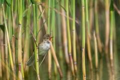 Australian Reed-Warbler (Image ID 44132)