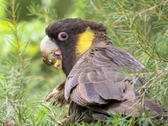 Yellow-tailed Black-Cockatoo (Image ID 44284)