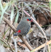Red-eared Firetail (Image ID 44147)