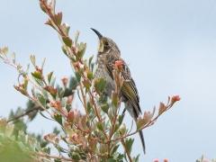 Tawny-crowned Honeyeater (Image ID 44136)