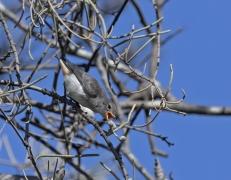 Mistletoebird (Image ID 44225)