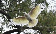 Sulphur-crested Cockatoo (Image ID 44108)