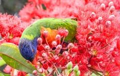 Rainbow Lorikeet (Image ID 44109)