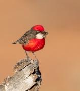 Crimson Chat (Image ID 44191)