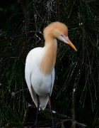 Cattle Egret (Image ID 44262)