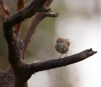 Brown Thornbill (Image ID 44195)
