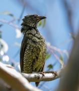 Satin Bowerbird (Image ID 44192)