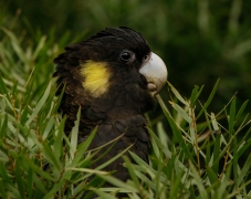 Yellow-tailed Black-Cockatoo (Image ID 44193)