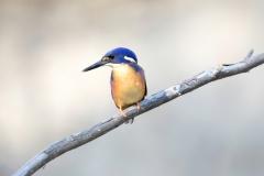 Azure Kingfisher (Image ID 44273)