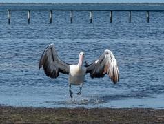 Australian Pelican (Image ID 44812)