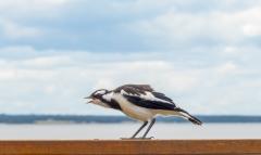 Magpie-lark (Image ID 44815)