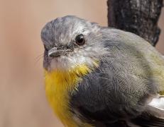 Eastern Yellow Robin (Image ID 44734)