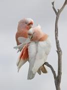 Major Mitchell's Cockatoo (Image ID 44663)