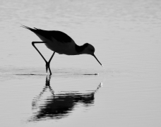Pied Stilt (Image ID 44741)