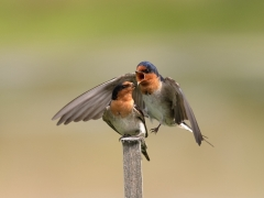 Welcome Swallow (Image ID 44950)