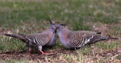 Crested Pigeon (Image ID 44953)