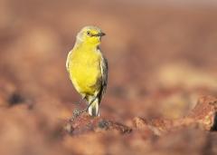 Gibberbird (Image ID 45038)
