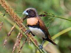 Chestnut-breasted Mannikin (Image ID 44727)