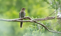 Fan-tailed Cuckoo (Image ID 44957)