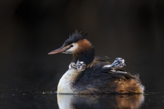 Great Crested Grebe (Image ID 45006)