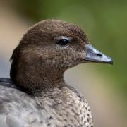 Australian Wood Duck (Image ID 44681)