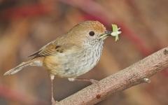 Brown Thornbill (Image ID 44583)