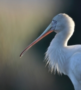 Yellow-billed Spoonbill (Image ID 44786)