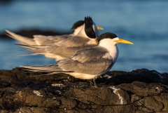 Greater Crested Tern (Image ID 44932)