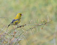 Common Greenfinch (Image ID 44827)