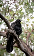 White-winged Chough (Image ID 44722)