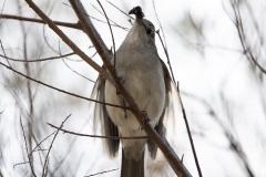 Grey Shrike-thrush (Image ID 44715)