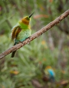 Rainbow Bee-eater (Image ID 44816)