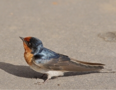 Welcome Swallow (Image ID 44619)