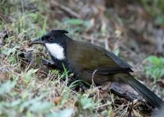 Eastern Whipbird (Image ID 44826)
