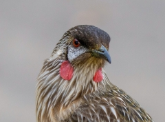 Red Wattlebird (Image ID 44871)