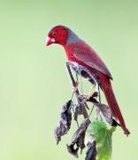 Black-bellied Crimson Finch (Image ID 45040)