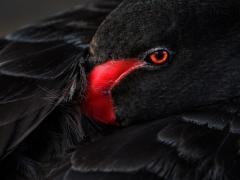 Black Swan (Image ID 45043)