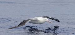 Southern Royal Albatross (Image ID 45524)