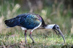Straw-necked Ibis (Image ID 45252)