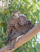 Brown Falcon (Image ID 45071)