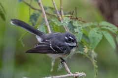 Grey Fantail (Image ID 45088)