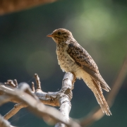 Brush Cuckoo (Image ID 45058)