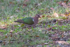 Brown-capped Emerald-Dove (Image ID 45241)